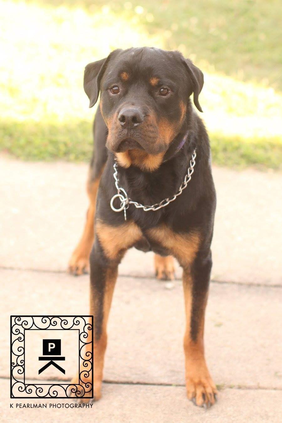 Rottweiler Dog For Adoption In Fredericksburg Va Adn 700572 On