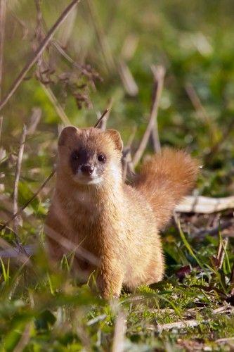 The Japanese Weasel Mustela Itatsi Is A Carnivorous Mammal