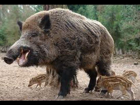 Giant Wild Pigs Nature Documentary Feral pig WildGiant Wild Boar Hunting