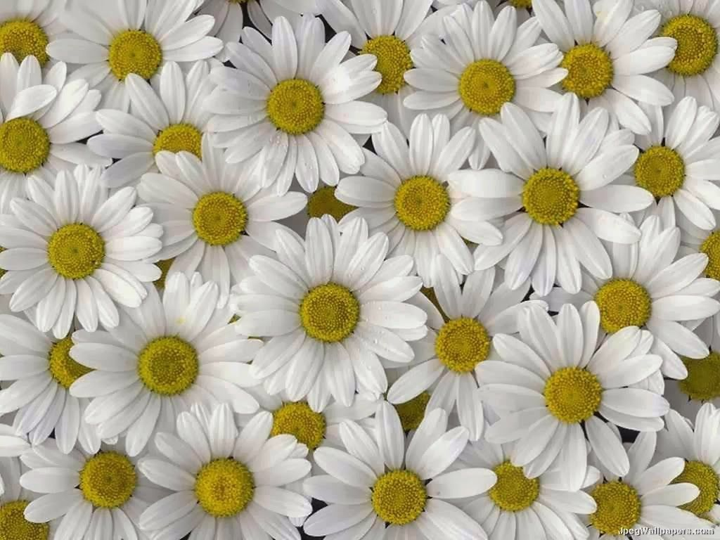 It Is One Of A Number Of Daisy Family Plants To Be Called A Flower