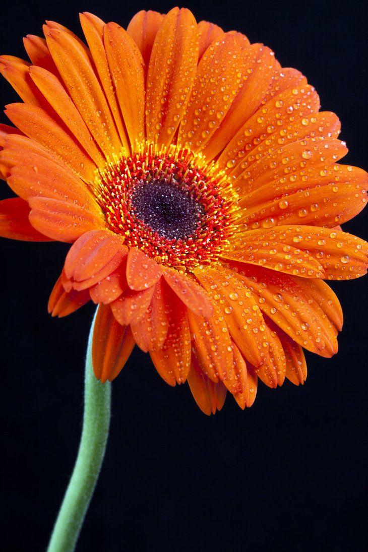 Orange Gerbera Gerbera Flower Beautiful Flowers Beautiful Flowers Wallpapers