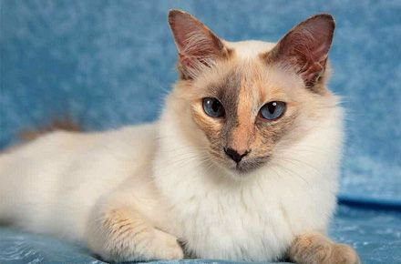 The Balinese Cat Balinese Cat Cat Colors Cats
