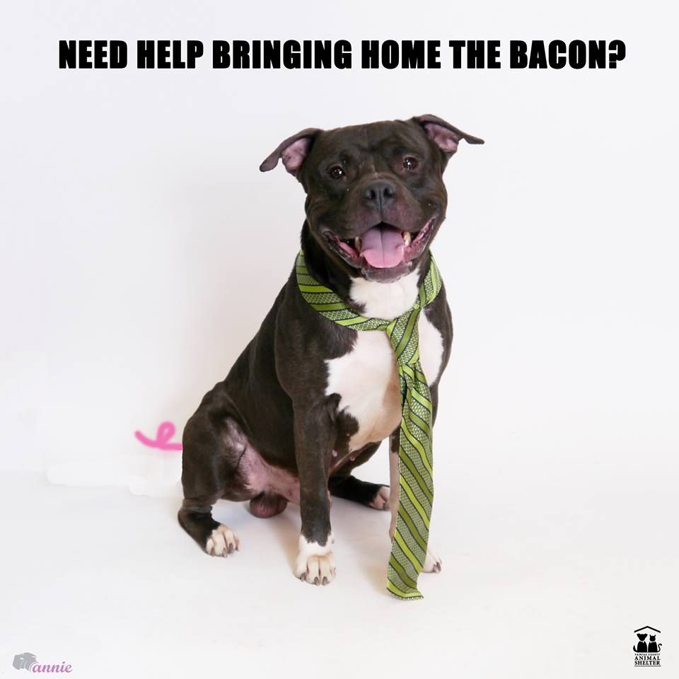 Today Anvil Is Featured As He Volunteers To Help Bring Home The Bacon To The Family Of A New Home And We Are Vol Animal Welfare League Animal Shelter Animals