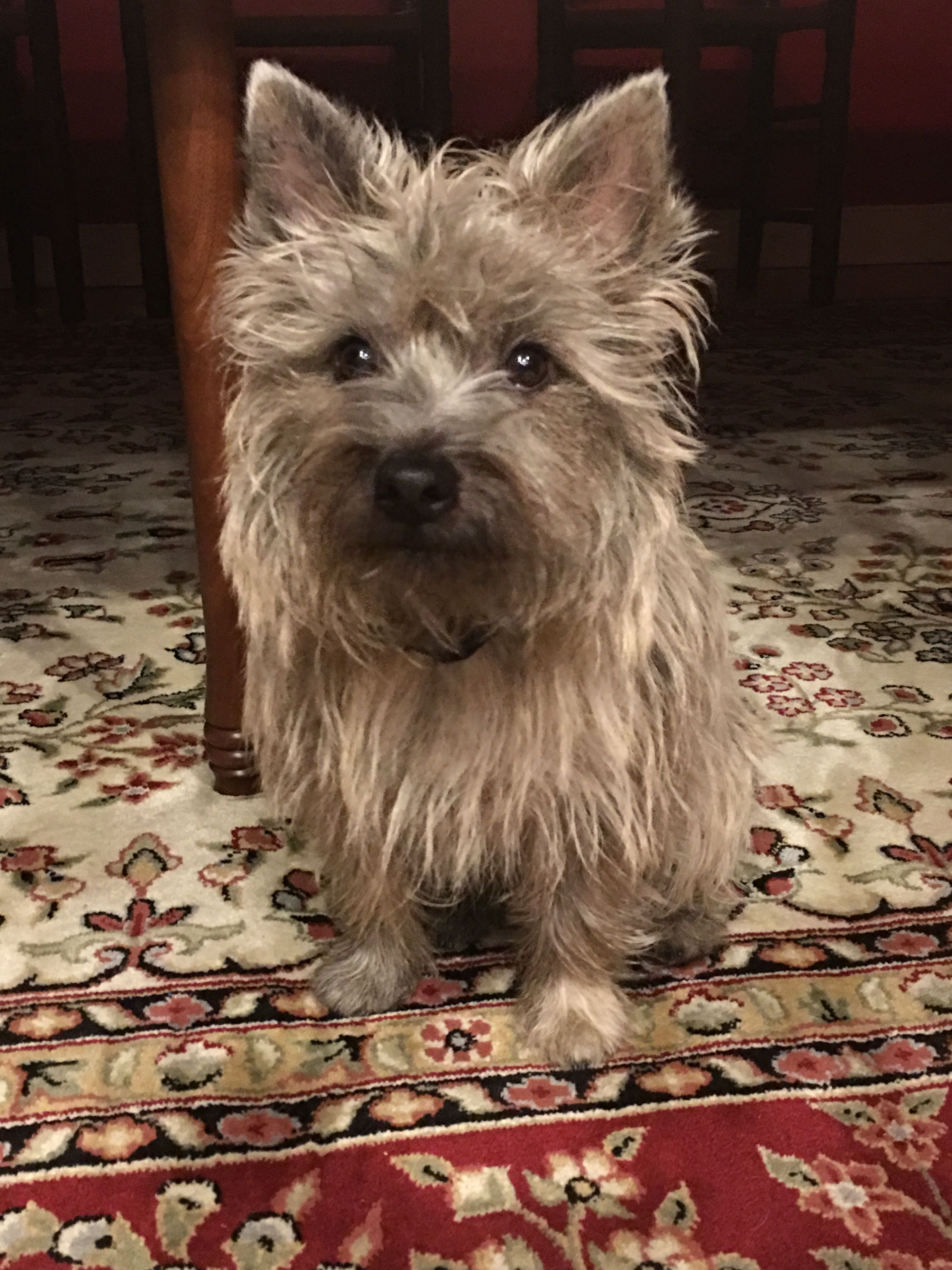 My Handsome Little Guy 13 Mo Cairn Terrier Puppies Terrier