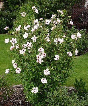 Rose Of Sharon Rose Of Sharon Hibiscus Shrubs