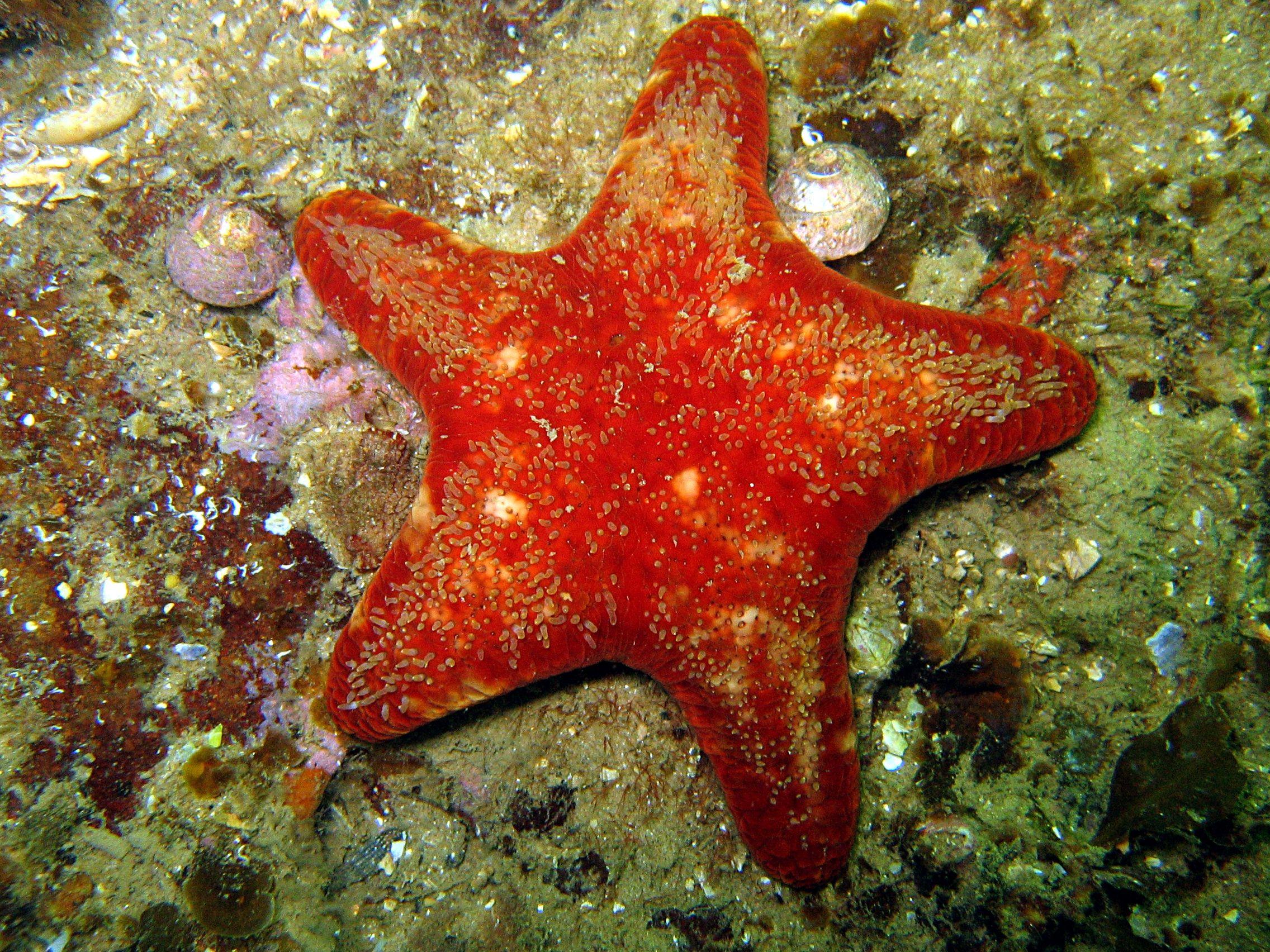 Patrick\' velvet sea star