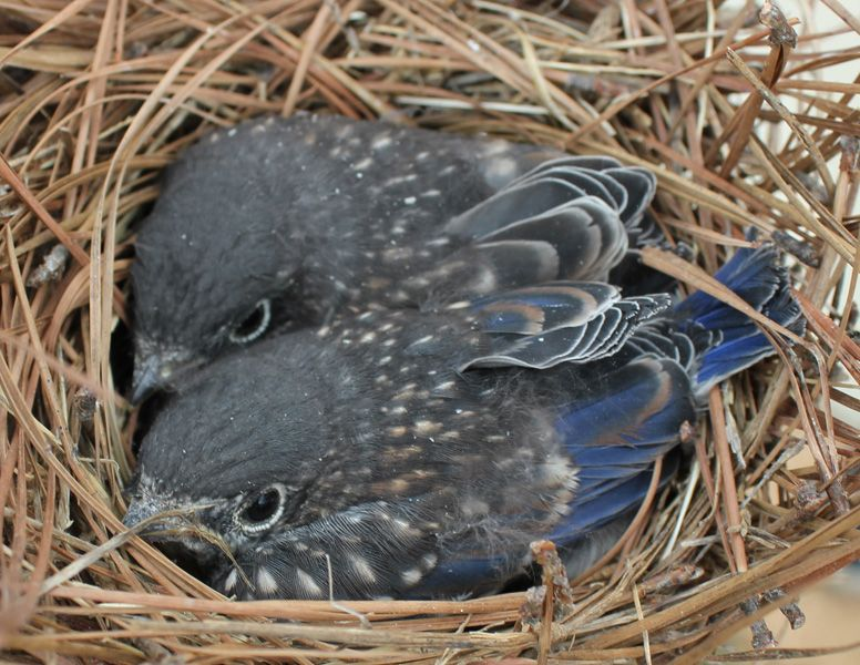 2 bluebird babies almost ready to fledge the nest....last summer