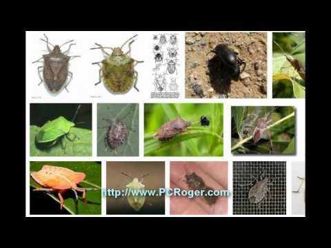 how to kill stink bugs stinkbugs101 insect removal pinterest stink bugs. Black Bedroom Furniture Sets. Home Design Ideas