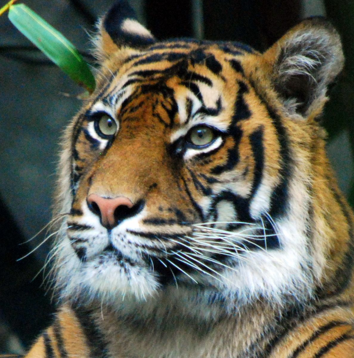 » Tiger Face Side View Endangered