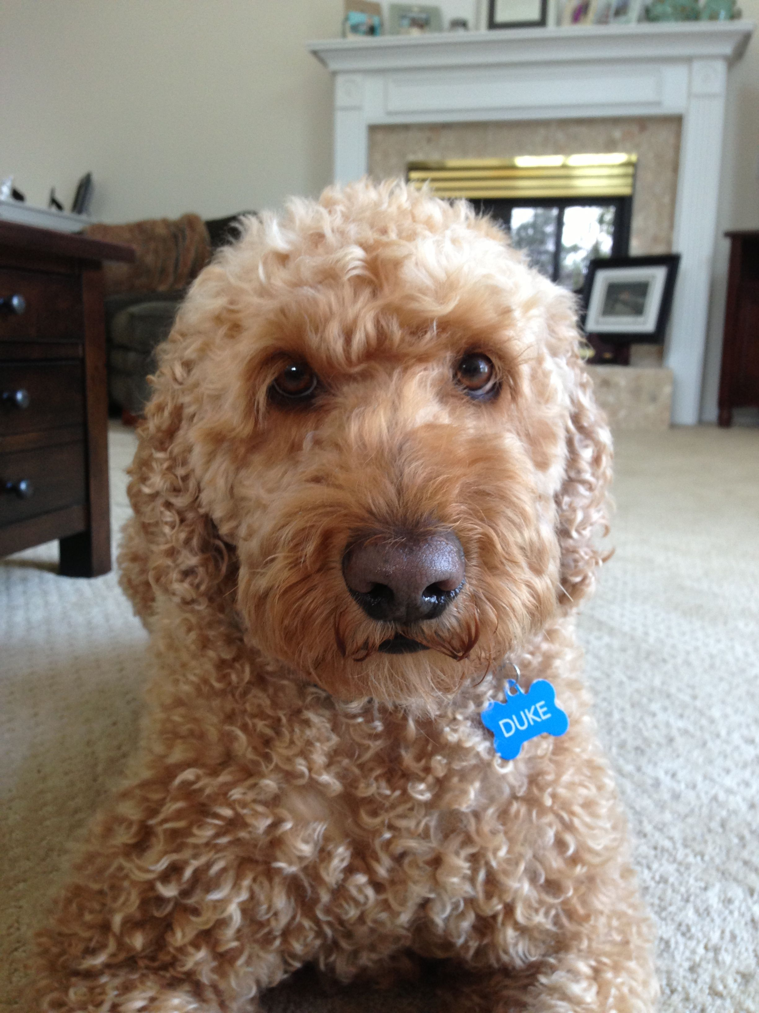 My doggie Labradoodle, Doggy, Dogs