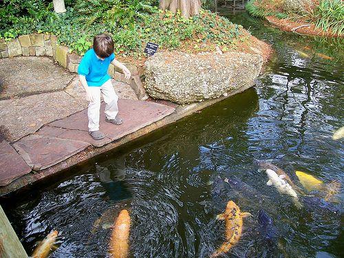 big koi in water garden