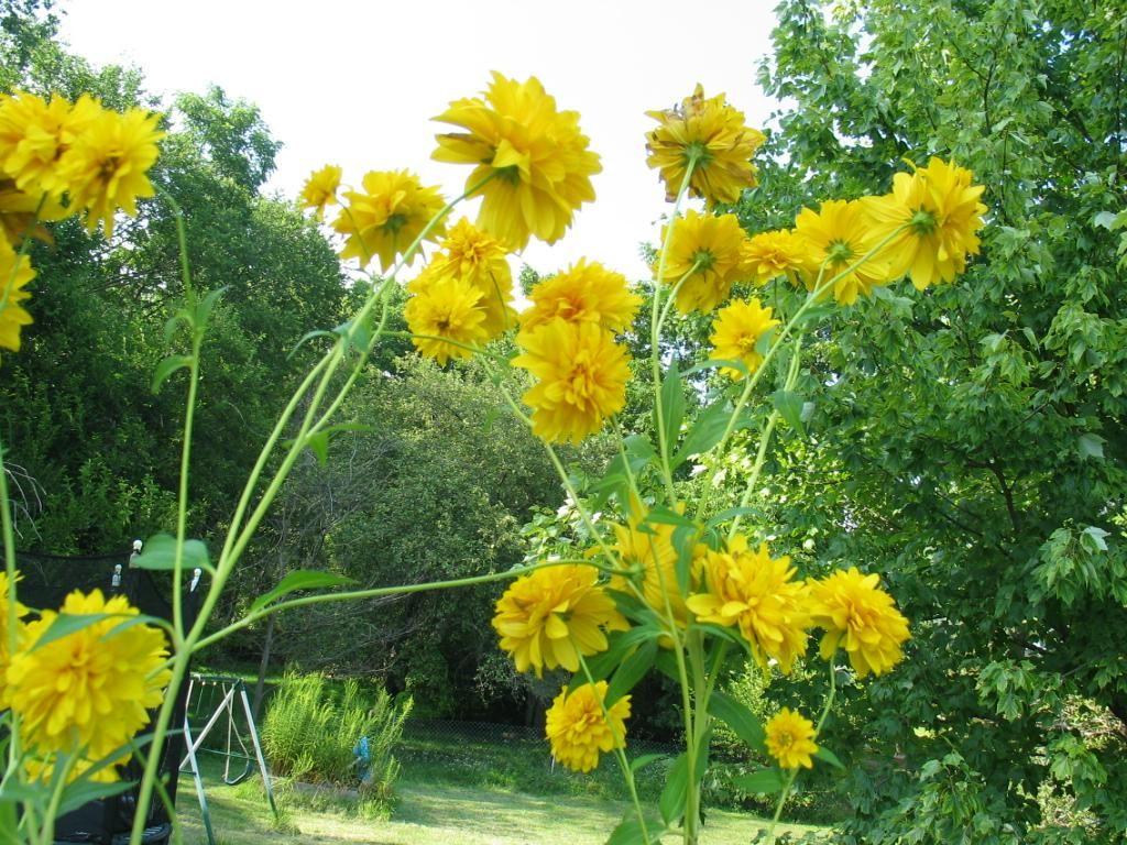 Rudbeckia laciniata hortensia aka golden glow and for Garden trees with yellow flowers