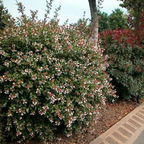 Scientific Name Abelia X Grandiflora Common Name Glossy Abelia