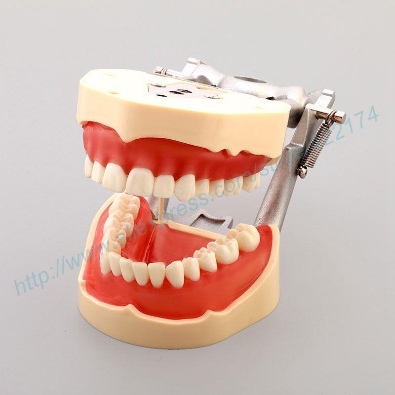 Free Shipping Standard Dental Model Tooth Teeth Model Dentist