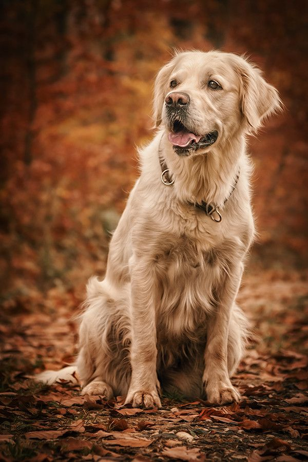 Golden Lady By Danny Block On 500px Animal Photography Dog