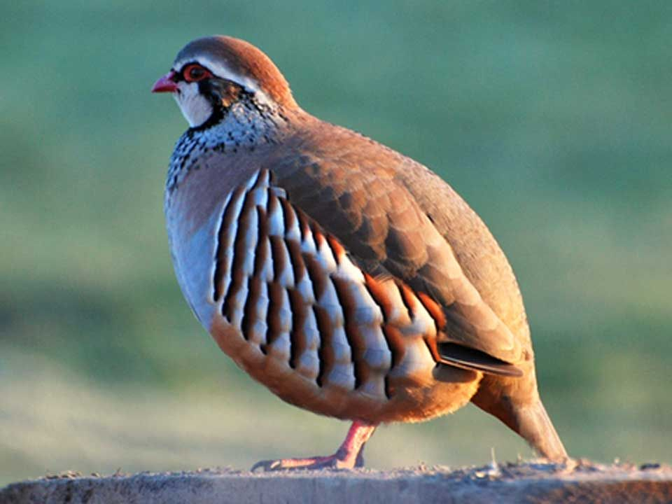 French Partridge Pet Birds Bird Aviary Partridge Bird