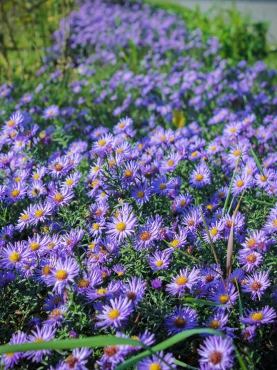 How To Divide Asters Tips For Spitting Aster Plants In The Garden Flower Landscape Plants Vegetable Garden Design