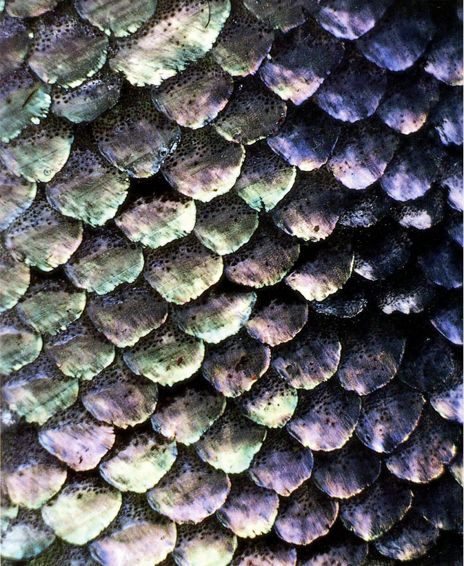 Fish Scale Study Texture Mermaid Patterns In Nature