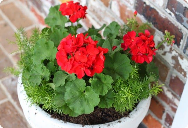 Plant Therapy Asparagus Fern Fern Planters Red Geraniums