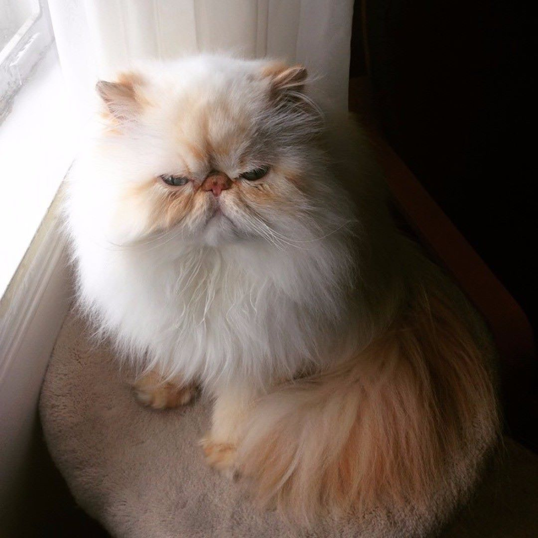 Majestic 19 Persian Cat Images And Facts Https Meowlogy Com 2018 12 28 19 Persian Cat Images And Facts There Are Several Di Cats Persian Cat Persian Kittens