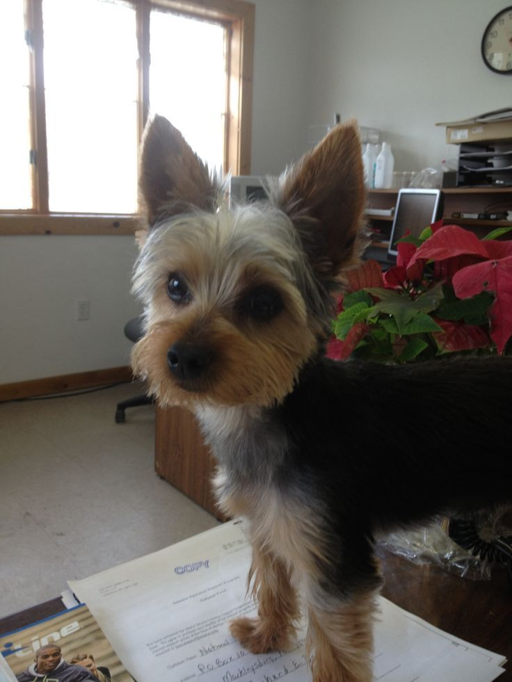 Image result for Short Haircuts for Yorkie Dogs Little