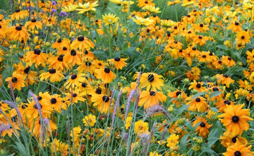 Sonnenhut - Pflanzen, Pflege und Tipps Sonnenhut, Einjährige und - kies garten gelb