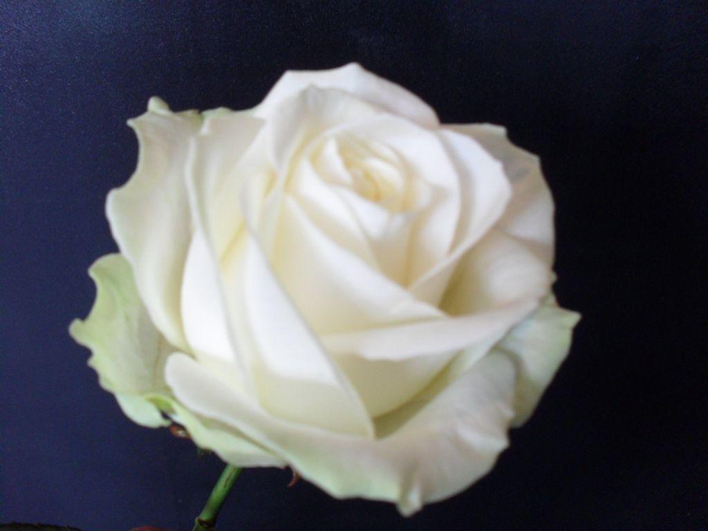 Avalanche Rose Flower Varieties Pinterest