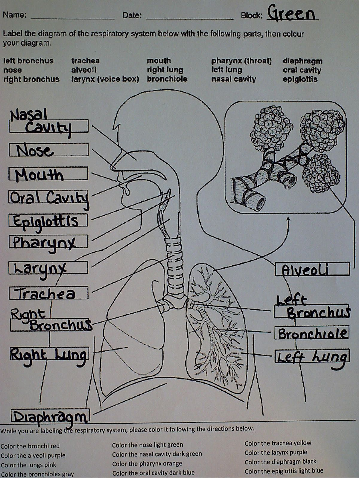 Label Diagram Of Respiratory System Luxury Respiratory System Ms Palmer S Science Class Respiratory System Printable Label Templates Holiday Worksheets