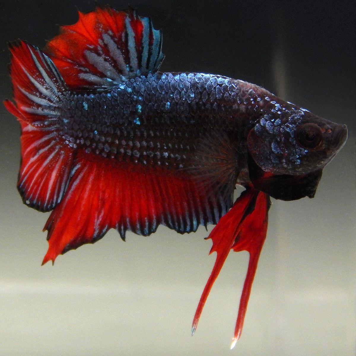 Live Betta Fish (Male) RED DRAGON GLITTER PLAKAT | Betta, Betta fish ...