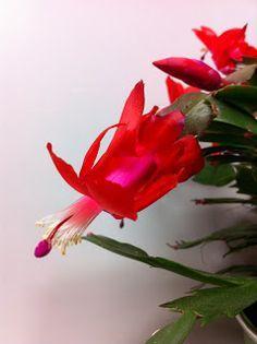 Le Cactus De Noel Est La Plante D Interieur Par Excellence Avec