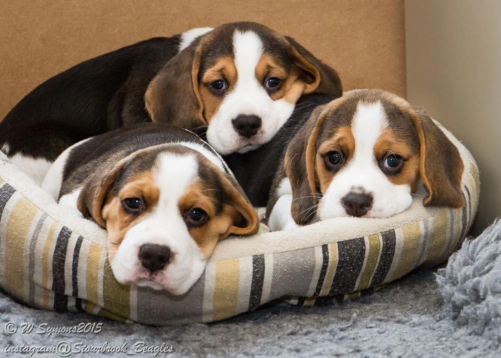 Facts On The Friendly Beagle Puppy Personality Beagleboy