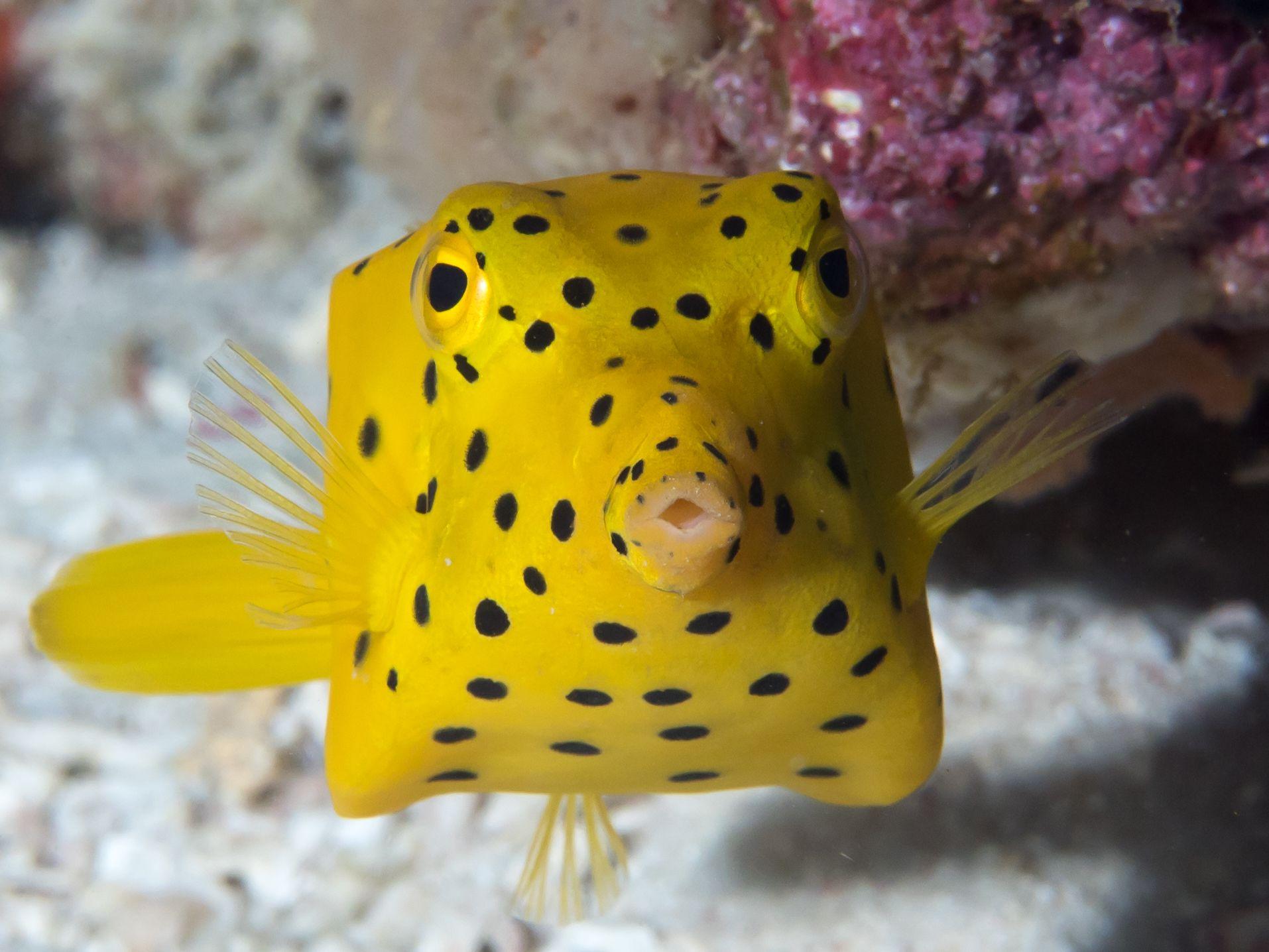 Yellow Boxfish Ostracion Cubicus Fish Pet Animals Fish