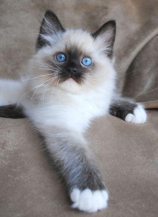 Birman Kittens Near Me : birman, kittens, Kittens, Craigslist, Midget, Angeles, Among, Domest…, Breeds,, Breeds, Siamese,, Kitten