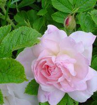 rosepolareis