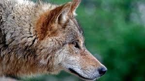 wolf illustration - Google-Suche