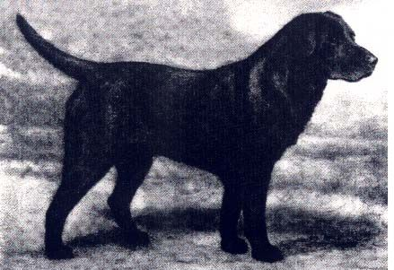 retrievers vintage pictures of labrador