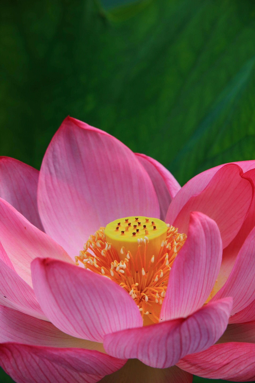 咲き誇る満開のハスの花 ハスの花 蓮の花 睡蓮