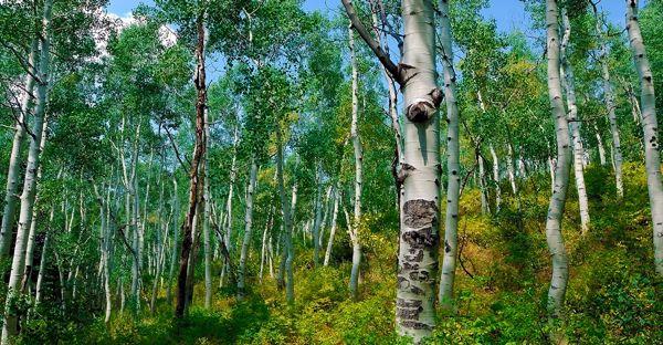 Birch Bark - http://herbalhealthreview.com/birch-bark/