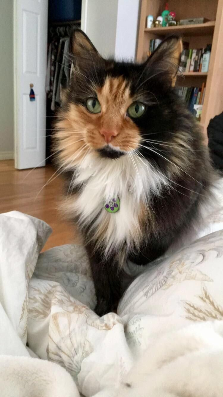 calico cat cat Her Highness Joan