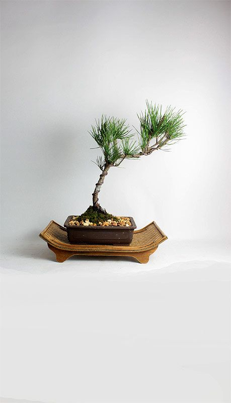 "Japanese Black Pine Bonsai Tree ""LiveBonsaiTree Winter Conifer Collection"" by LiveBonsaiTree on Etsy"