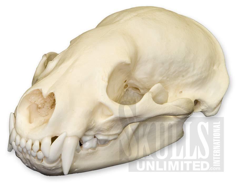 Skull - Wikipedia