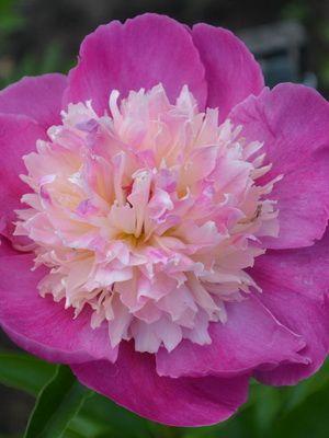 Виды и сорта цветов пионов с фото, названиями и описанием ...