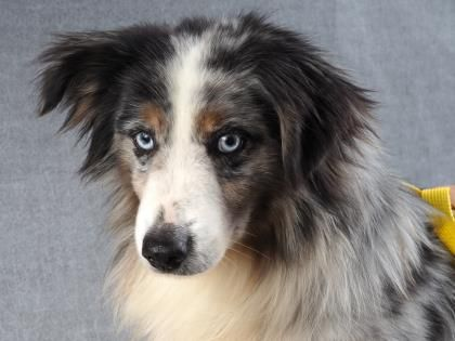 Petango Com Meet Wheeler 7y 9m Australian Shepherd Miniature Available For Adoption In Colorado Springs Co