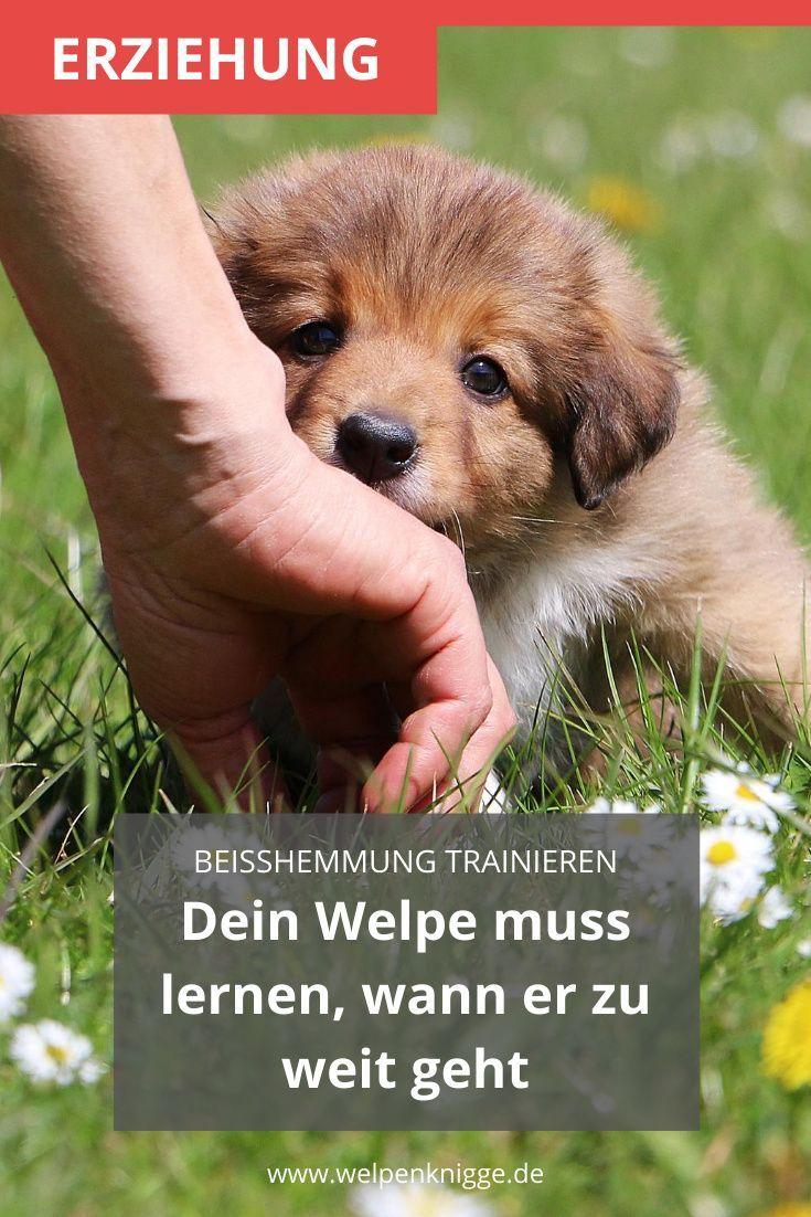 Wie Du Ganz Einfach Zuhause Die Beisshemmung Von Welpen Trainierst In 2020 Welpen Trainieren Hundchen Training
