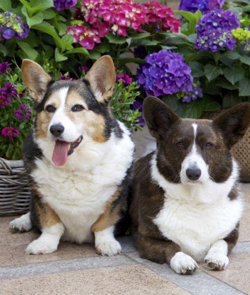 10 Cool Facts About Corgis Corgi Obsessed Corgi Corgi Dog