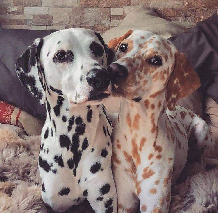Is That A Vanilla Dalmatian Dalmatians Are Lively