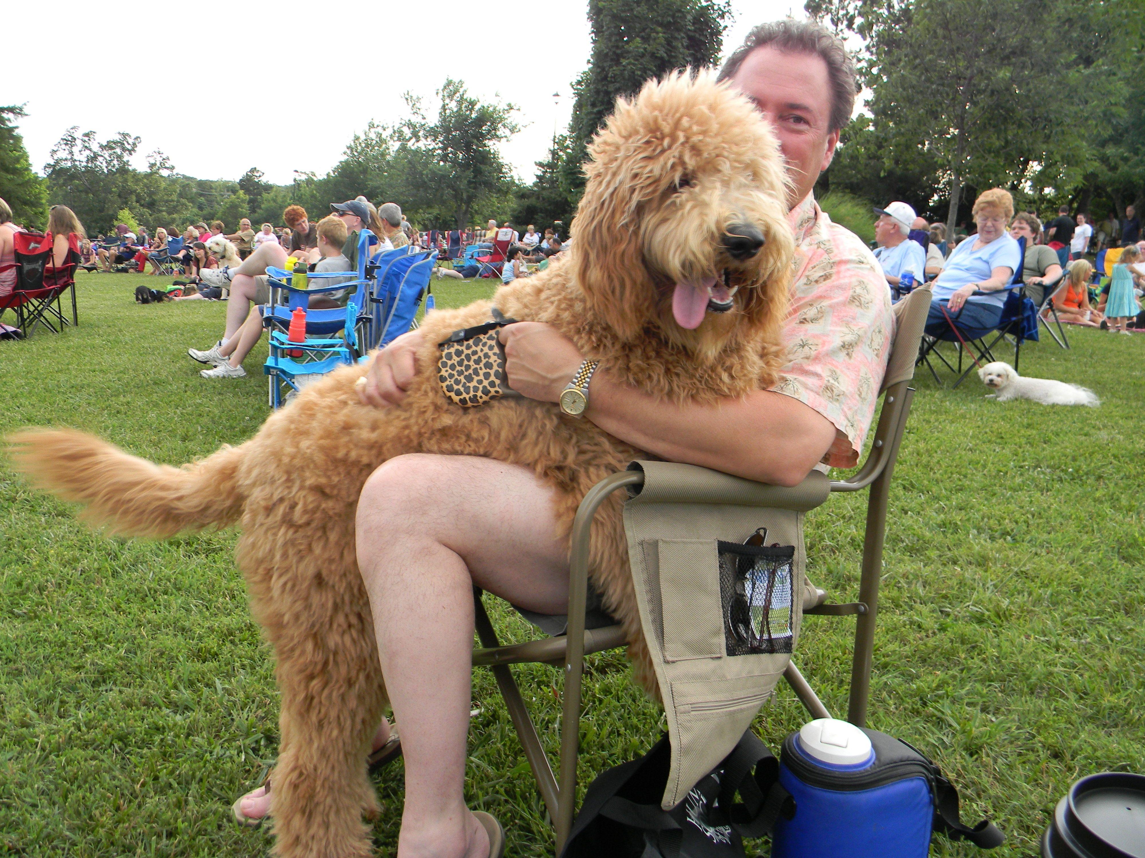 Okefeild Acres Teddybear Standard Goldendoodles in 2020