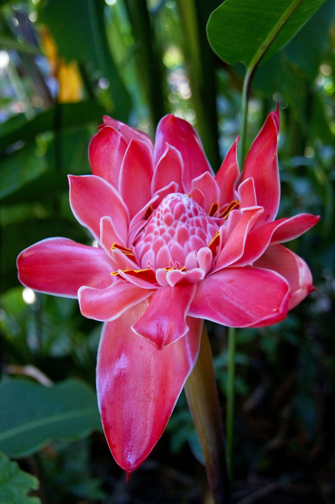 Mirellabruno Ginger Flower Torch Ginger Flower Flowers