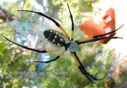 St Andrews Cross Spider Poisonous I14 Spider St Andrews Cross