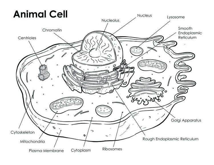 Animal Cell Coloring Page Answers Animal Cells Worksheet Animal Cell Animal Cell Drawing